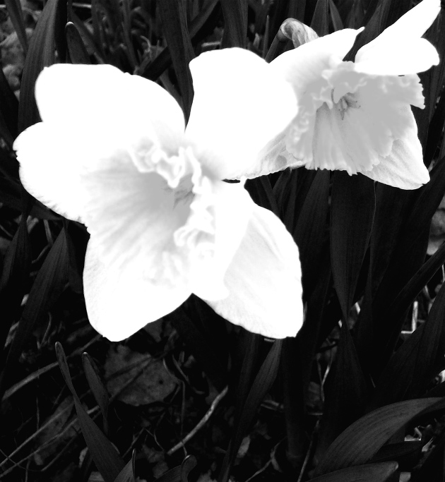 """""""Neon Daffodils."""" PPR_Scribe"""